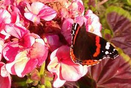 cropped2butterfly on hydranger